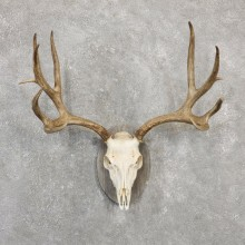 Mule Deer Skull Antler European Mount For Sale #20031 @ The Taxidermy Store