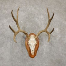 Mule Deer Skull Antler European Mount For Sale #20155 @ The Taxidermy Store