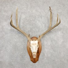 Mule Deer Skull European Mount For Sale #20025 @ The Taxidermy Store