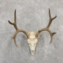 Mule Deer Skull European Mount For Sale #20029 @ The Taxidermy Store