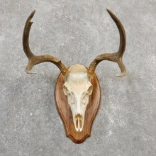 Mule Deer Skull European Mount For Sale #20030 @ The Taxidermy Store