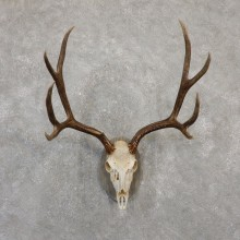 Mule Deer Skull European Mount For Sale #20063 @ The Taxidermy Store