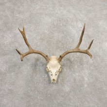 Mule Deer Skull European Mount For Sale #20370 @ The Taxidermy Store