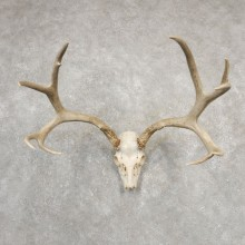 Mule Deer Skull European Mount For Sale #20548 @ The Taxidermy Store
