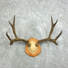 Mule Deer Taxidermy Antler Plaque #18340 For Sale @ The Taxidermy Store