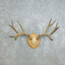 Mule Deer Taxidermy Antler Plaque #18407 For Sale @ The Taxidermy Store