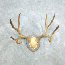 Mule Deer Taxidermy Antler Plaque #18411 For Sale @ The Taxidermy Store