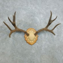 Mule Deer Taxidermy Antler Plaque #18419 For Sale @ The Taxidermy Store