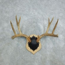 Mule Deer Taxidermy Antler Plaque #18432 For Sale @ The Taxidermy Store
