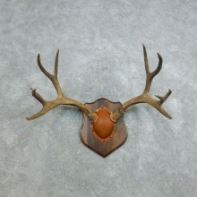 Mule Deer Taxidermy Antler Plaque #18436 For Sale @ The Taxidermy Store