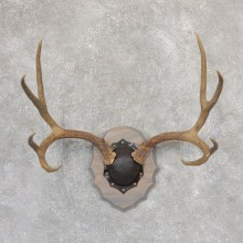 Mule Deer Taxidermy Antler Plaque #18997 For Sale @ The Taxidermy Store