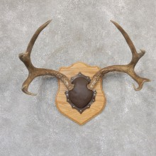 Mule Deer Taxidermy Antler Plaque #18998 For Sale @ The Taxidermy Store