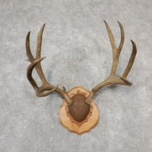 Mule Deer Taxidermy Antler Plaque #19113 For Sale @ The Taxidermy Store