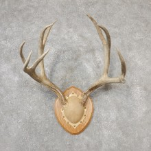 Mule Deer Taxidermy Antler Plaque #19115 For Sale @ The Taxidermy Store