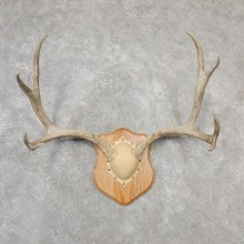 Mule Deer Taxidermy Antler Plaque #19120 For Sale @ The Taxidermy Store