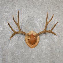 Mule Deer Taxidermy Antler Plaque #19130 For Sale @ The Taxidermy Store