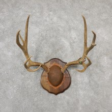 Mule Deer Taxidermy Antler Plaque #19132 For Sale @ The Taxidermy Store