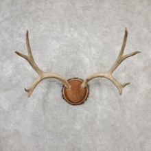 Mule Deer Taxidermy Antler Plaque #19133 For Sale @ The Taxidermy Store