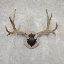 Mule Deer Taxidermy Antler Plaque #19134 For Sale @ The Taxidermy Store