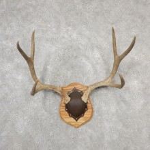 Mule Deer Taxidermy Antler Plaque #19137 For Sale @ The Taxidermy Store