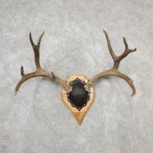 Mule Deer Taxidermy Antler Plaque #19138 For Sale @ The Taxidermy Store