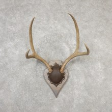 Mule Deer Taxidermy Antler Plaque #19141 For Sale @ The Taxidermy Store
