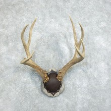 Mule Deer Taxidermy European Antler Plaque #18377 For Sale @ The Taxidermy Store