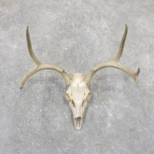 Mule Deer Taxidermy European Mount #19507 For Sale @ The Taxidermy Store