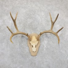 Mule Deer Taxidermy European Mount #19517 For Sale @ The Taxidermy Store