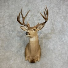 Desert Mule Deer Taxidermy Shoulder Mount For Sale