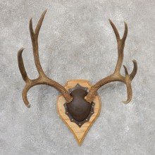 Mule Deer Taxidermy Plaque #19006 For Sale @ The Taxidermy Store