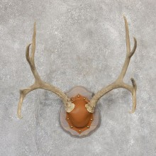 Mule Deer Taxidermy Plaque #19007 For Sale @ The Taxidermy Store
