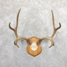 Mule Deer Taxidermy Plaque #19662 For Sale @ The Taxidermy Store