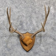 Mule Deer Antler Mount #11587 - For Sale @ The Taxidermy Store