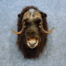 Muskox Shoulder Mount For Sale #15508 @ The Taxidermy Store