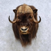 North American Muskox Taxidermy Shoulder Mount For Sale