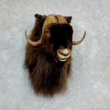 Barren Ground Muskox Shoulder Mount For Sale #18225 @ The Taxidermy Store