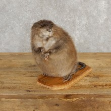 Muskrat Life Size Taxidermy Mount #20253 For Sale @ The Taxidermy Store