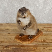 Muskrat Life Size Taxidermy Mount #20254 For Sale @ The Taxidermy Store