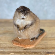 Muskrat Life Size Taxidermy Mount #21697 For Sale @ The Taxidermy Store