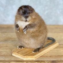 Muskrat Life Size Taxidermy Mount #21704 For Sale @ The Taxidermy Store