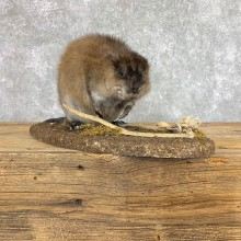 Muskrat Life Size Taxidermy Mount #22204 For Sale @ The Taxidermy Store