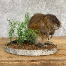 Muskrat Life Size Taxidermy Mount #22841 For Sale @ The Taxidermy Store