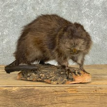 Muskrat Life Size Taxidermy Mount #22913 For Sale @ The Taxidermy Store