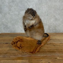 Muskrat Life Size Taxidermy Mount #17141 For Sale @ The Taxidermy Store