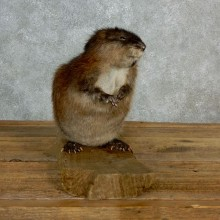 Muskrat Life Size Taxidermy Mount #17142 For Sale @ The Taxidermy Store