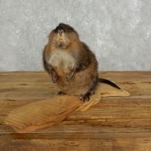 Muskrat on Driftwood