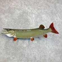 Musky Taxidermy Fish Mount For Sale #22117 @ The Taxidermy Store