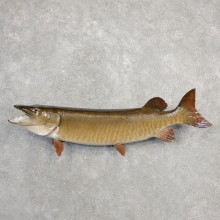 Musky Taxidermy Fish Mount For Sale The Taxidermy Store #21092