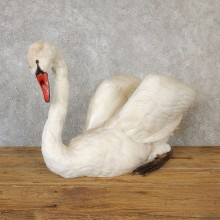 Mute Swan Life Size Taxidermy Mount #19275 For Sale @ The Taxidermy Store